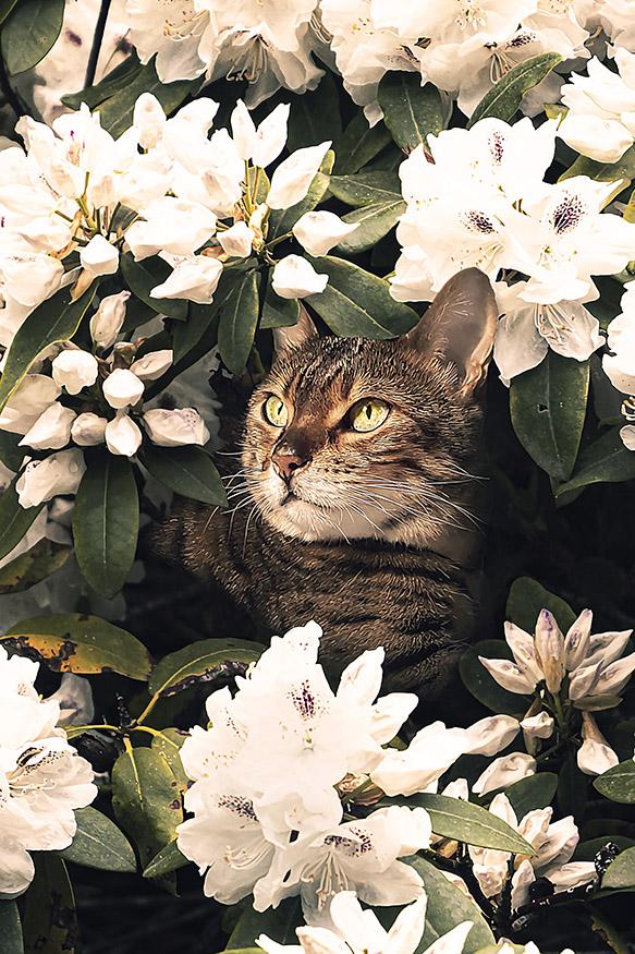 Kat tussen de rododendron